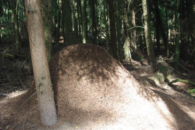 Ameisenhaufen im Schatten
