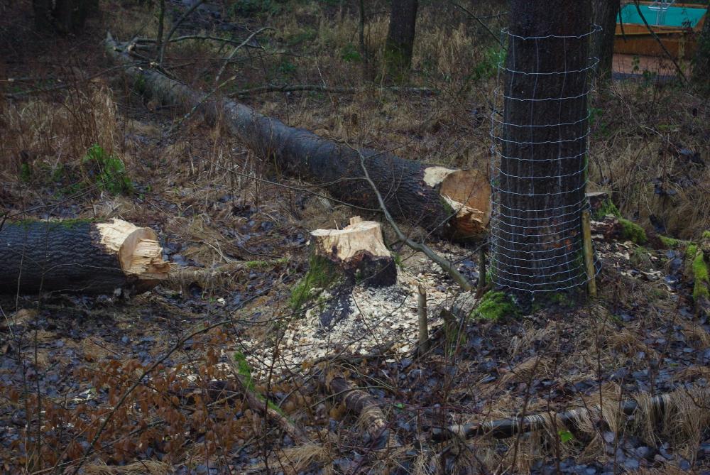 Angenagte Bäume wurden wegen Verkehrssicherungspflicht gefällt. Der dritte Baum wird mit Draht vor Biss geschützt.