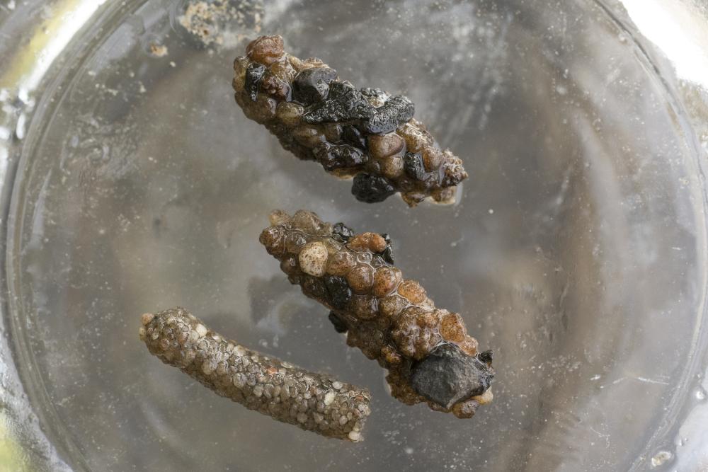 versteinerter Köcher der Köcherfliegenlarve