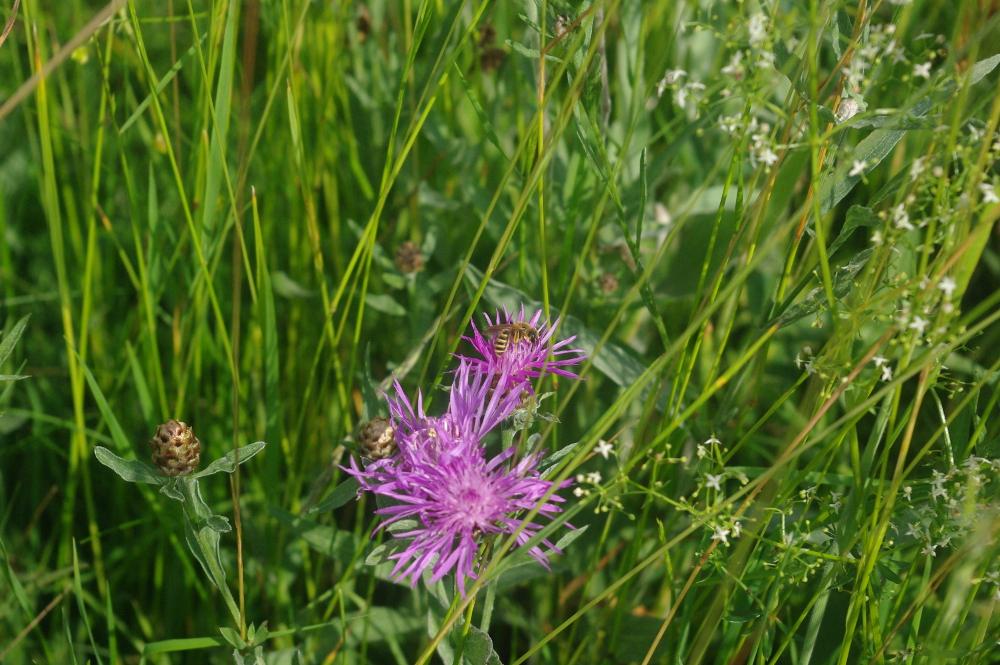 Wildbiene auf einer Wiesenflockenblume