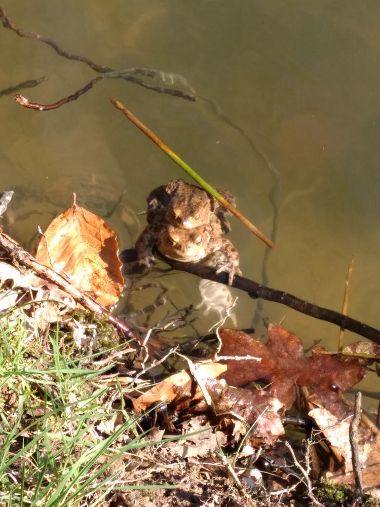Krötenpärchen kurz vor dem Ablaichen