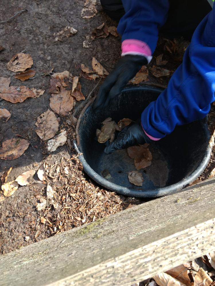Erdkrötenmännchen wird aus dem Auffangeimer gehoben