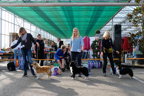 Zoe erreicht an der CAC-Clubshow 2019 des SSSC in Schinznach-Dorf ein vv3