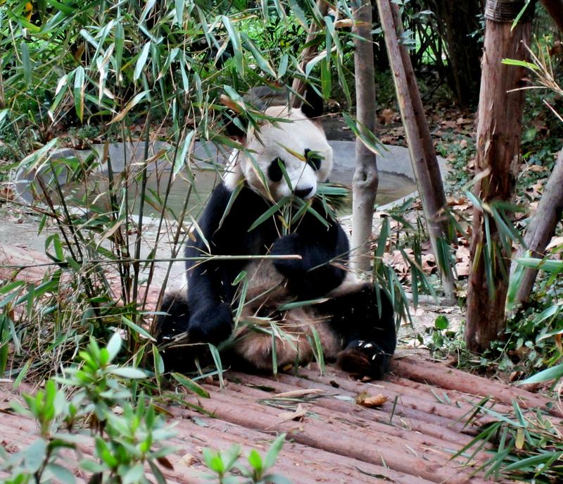 Bei den Pandabären in Chengdu