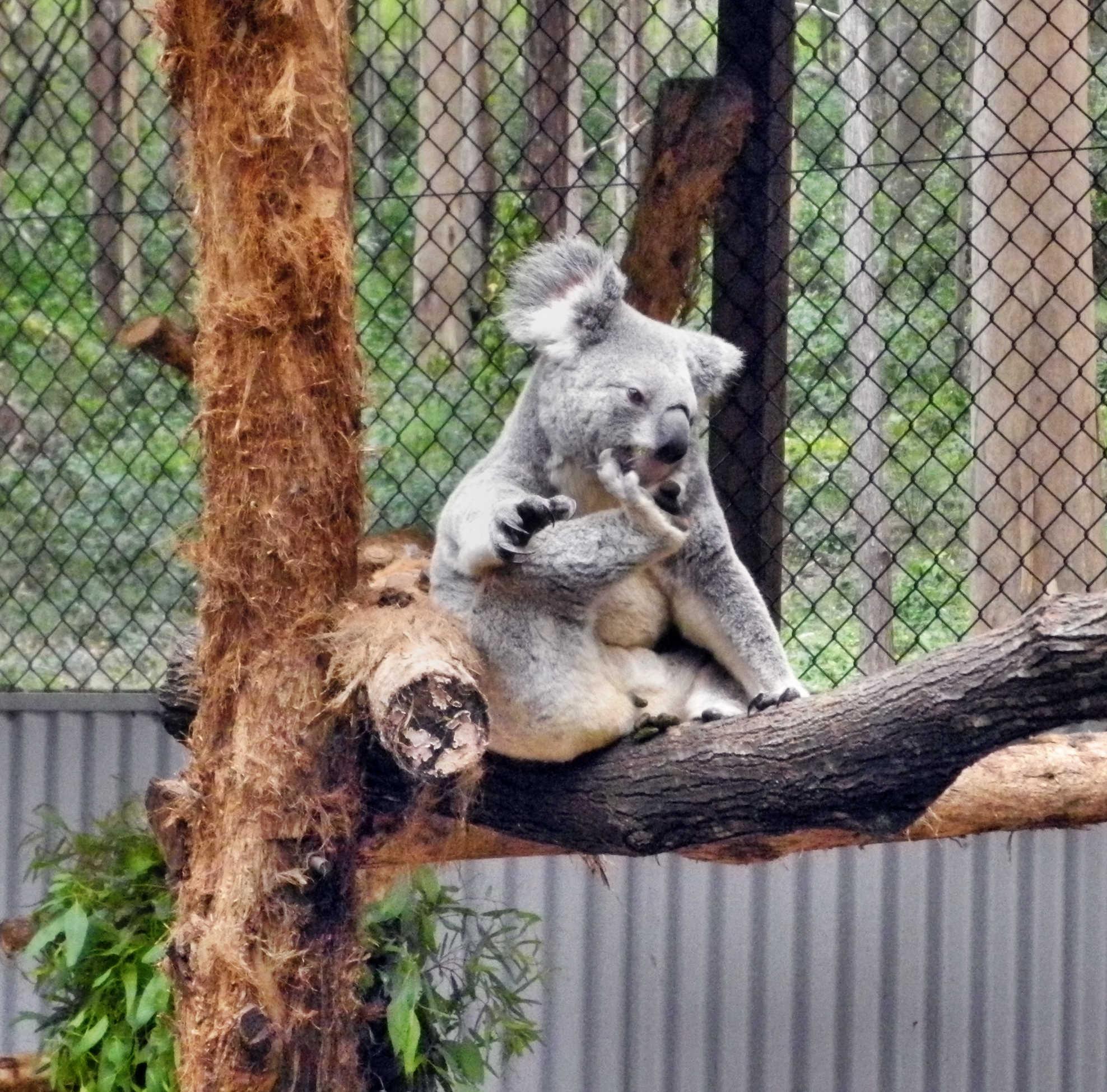 Unser erster Koalabär - aber leider nur in einer Aufzuchtsstation