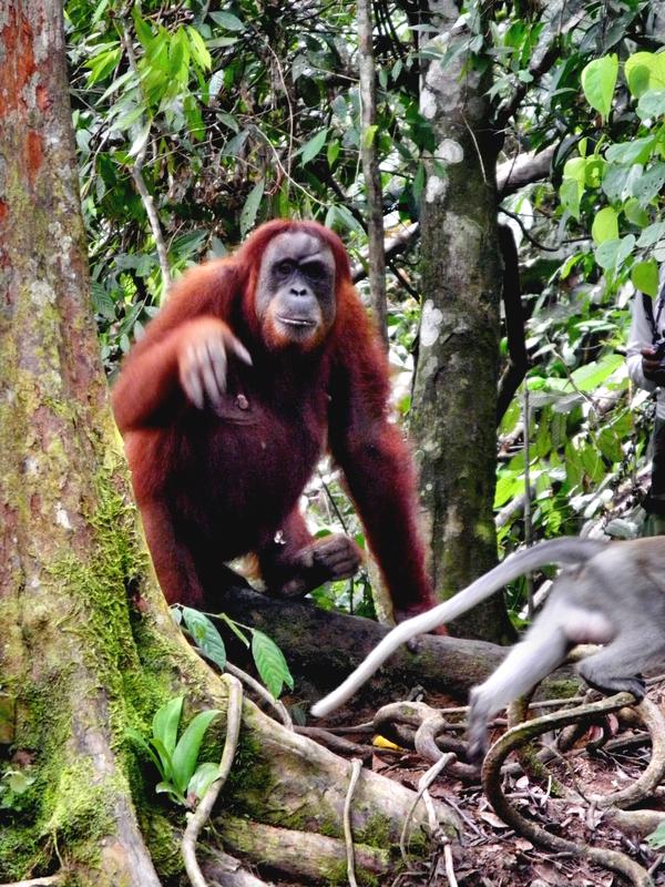 Bei den letzten freilebenden Orang Utans