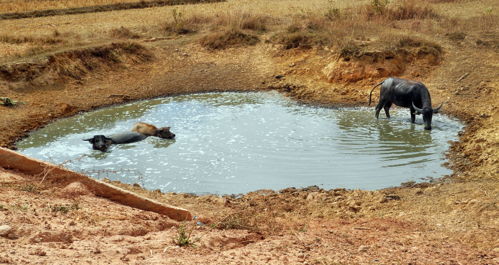 Wasserbüffel wissen was bei dieser Hitze gut ist
