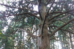特殊伐採事例(熊野神社|山形県鶴岡市)ウッドタワー工法にて施工