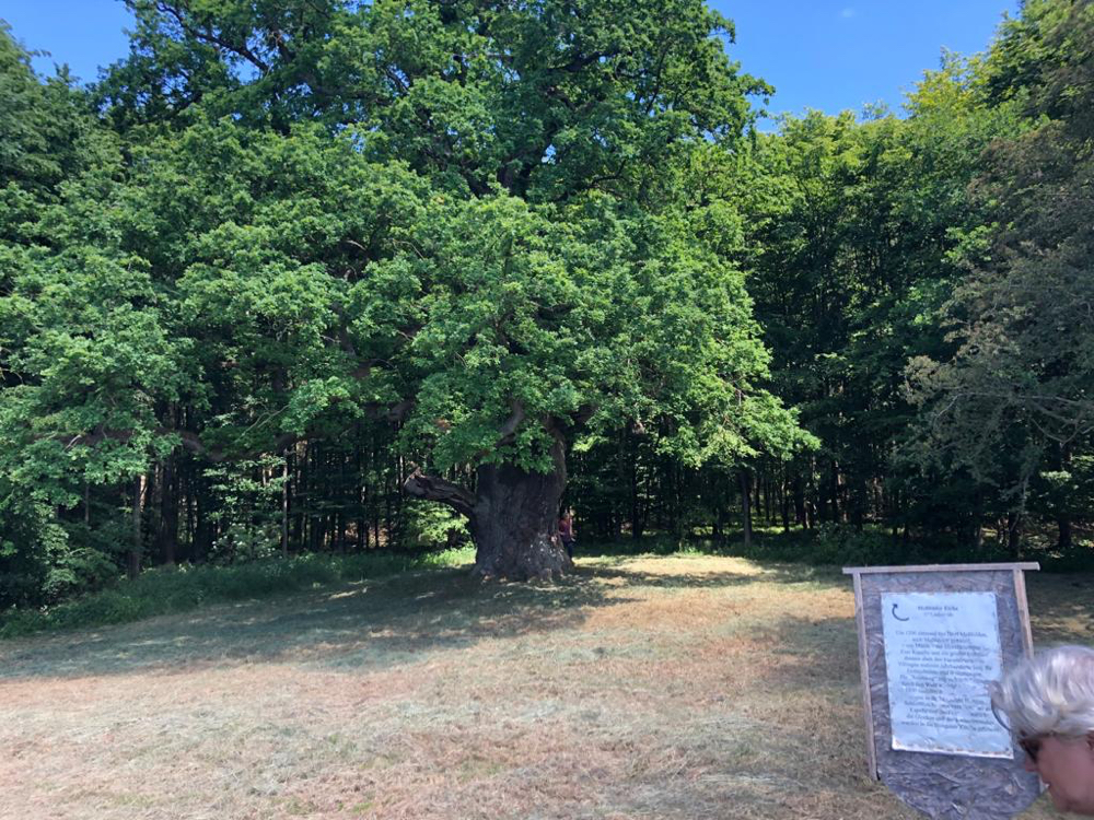 Foto privat: Naturdenkmal Messfelder Eiche