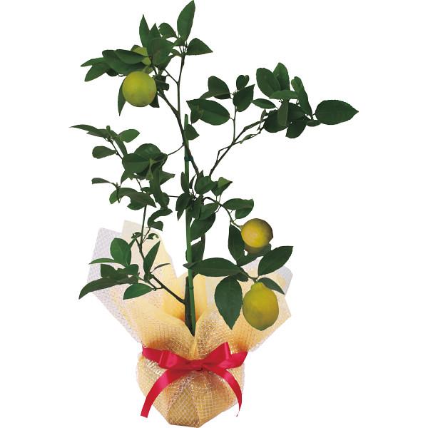 レモン鉢植え