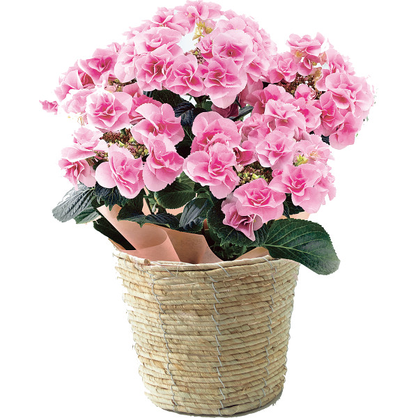 色移りアジサイ鉢植え フェアリーアイ ピンク