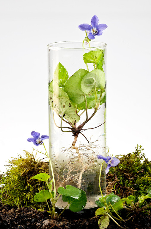 Herbier vivant, Violette, © Annick Maroussy