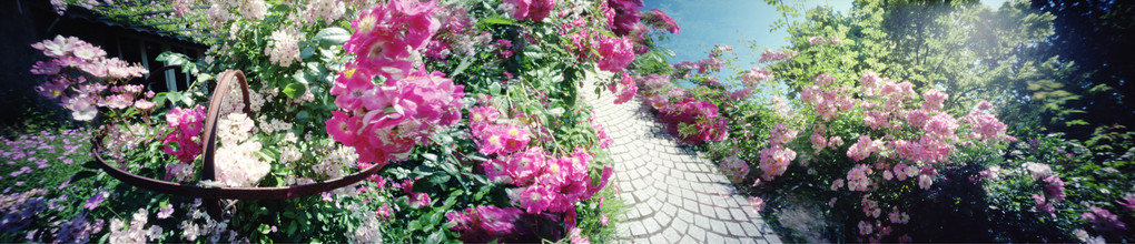 Ile Verte, Roses à profusion, 2010, L120 cm x H37 cm, 1/30,  © Annick Maroussy