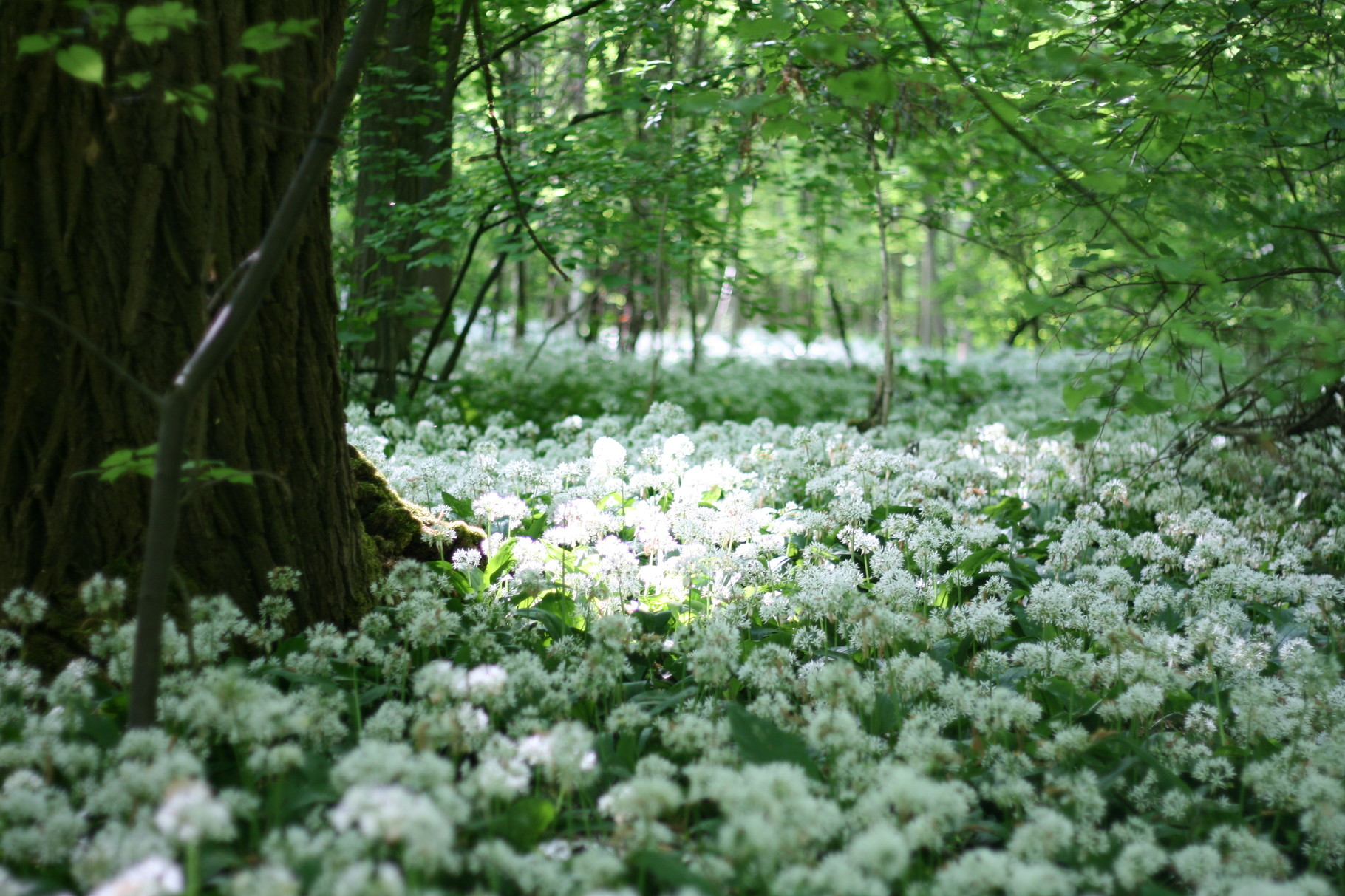 Der Bärlauch blüht - und duftet lecker. Ab ins Grüne am Feiertag!