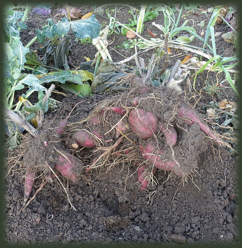 Yacon - Ein neues Gemüse im Garten