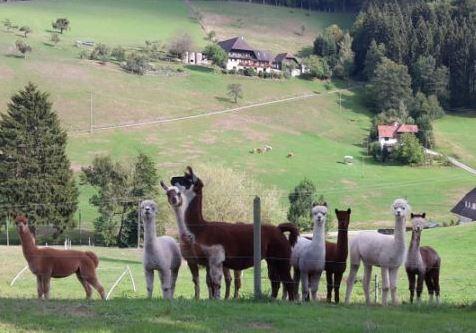 Alpakas im Obertal auf dem Bechererhof