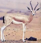 gazelle dorca