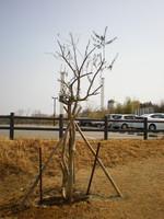 震災から2年「ひろのオリーブ村」のシンボル木を植えました(2013年3月11日)