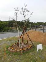 シンボルの木は大事に育てていきたい。(2013年6月11日)