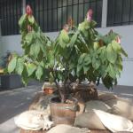 Kakaobaum im Palmengarten der Stadt Frankfurt am Main