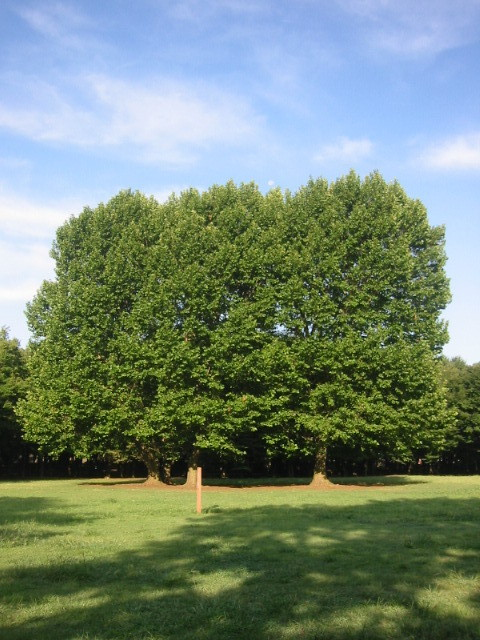 都立野川公園の広場に立つ「すずかけの木」