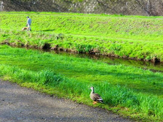 近くの野川沿道で本物の鴨が2羽歩いていた。この写真の左のところにもう1羽いた。川の向こうには犬をつれた人が歩いている。犬もこの写真の左のところにもう1わんちゃんいる