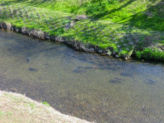 野川を泳ぐ鯉。水がきれい