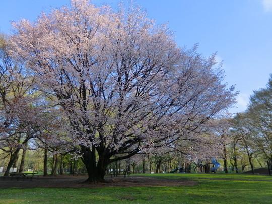 滑り台の近くの桜は、まだ堂々と咲き誇っていた