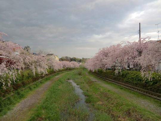 橋の上から。両岸に満開の枝垂桜が