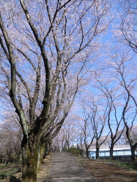 橋を渡り左岸に戻る。坂の桜並木