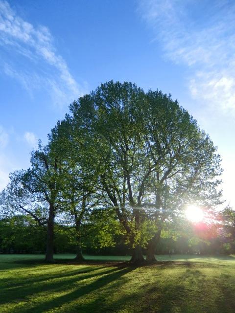 野川公園の広場に立つすずかけの木。5本の木がひとつの木のように見える