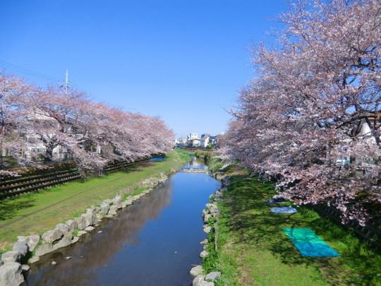 野川の桜は、場所によりほぼ満開。朝早くから場所どりの敷物が