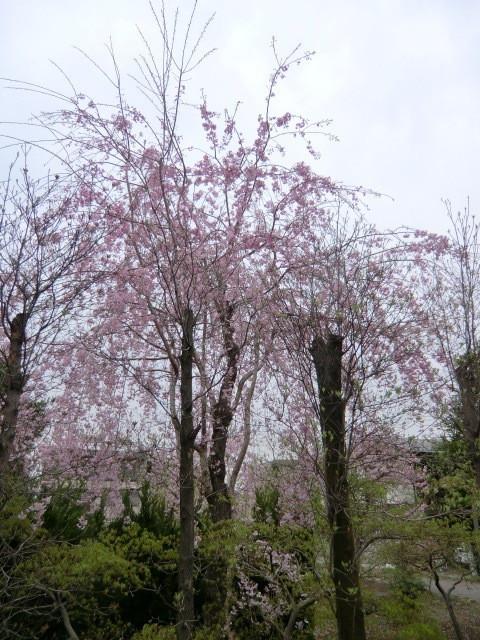 帰路、住宅街の道のそばに咲いていた枝垂桜