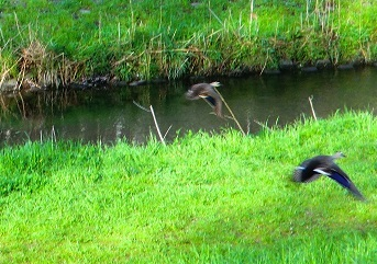 鴨は近づくと飛び立ってしまった。多分、4月12日の早朝探索で出会った仲の良い2羽の鴨だと思う。夫婦なのだろうか…