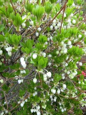 ドウダンツツジ。釣鐘のような形をした蕾のような花。