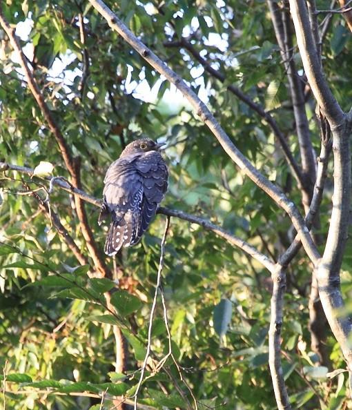 ●ツツドリ:カッコウ科の鳥で、カッコウやホトトギスの仲間です。体長は約33センチぐらい