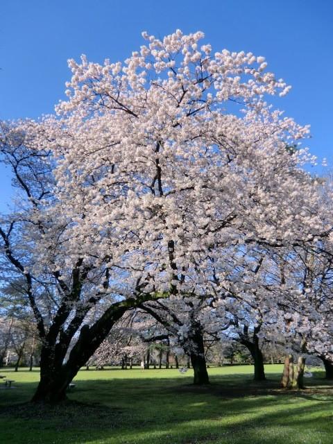 桜は場所によりまだきれいに咲いていました。以上、約2時間の早朝探索でした