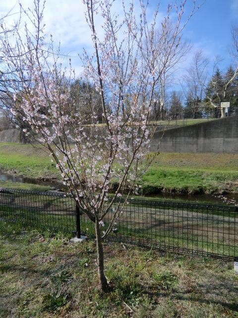 橋を渡り、野川の右岸から公園を望む。手前に咲いているのは山桜?