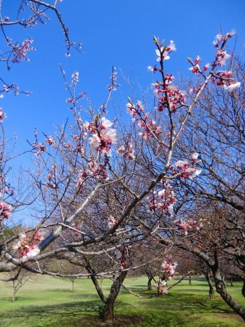 梅の花もまだ少しだけ公園に残っていました。