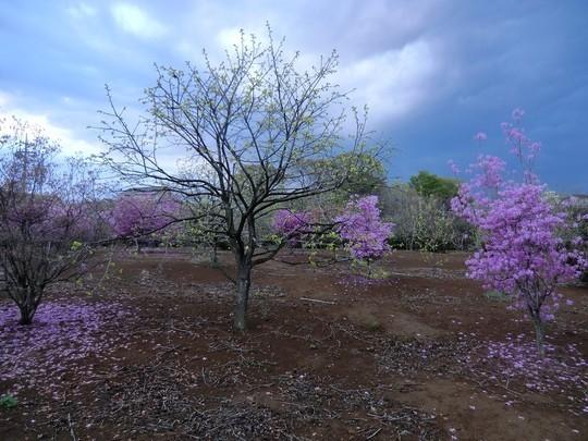 ここも野川遊歩道のそば。栗林にミツバツツジが咲いていた