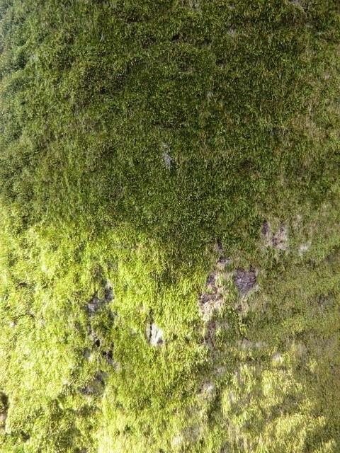 桜の幹が苔のようなものにおおわれていた。ふれるとビロードのような感触だった