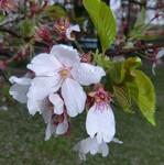 葉桜になった桜