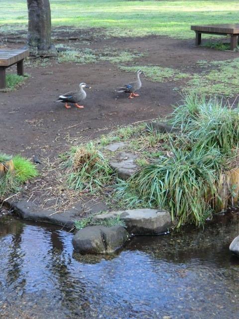 湧水の近くで鴨が2羽仲良く遊んでいた