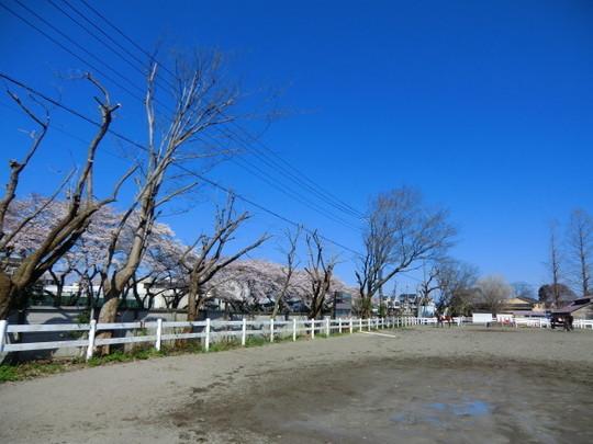 帰路、東大馬術部の馬場の横を通る。野川の桜も見える気持ちのよいところ