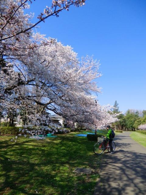 自転車に乗ったまま桜の写真を撮っていた方