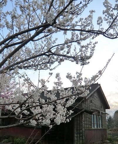 3月14日(2013) 都立野川公園正門の近くにある撥雲館(天然理心流近藤道場跡)。早咲きの桜の花が開いていた:調布市