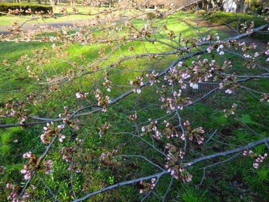 開き始めた野川公園の桜