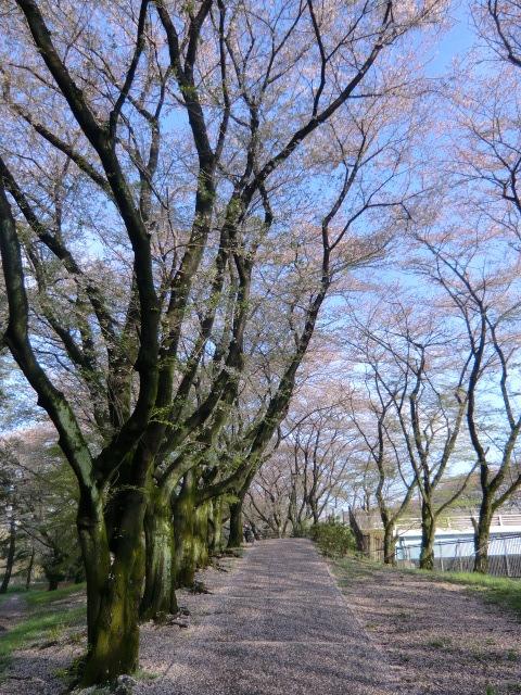 東八道路をまたぐ橋に向かう坂道。花びらが敷き詰められていた
