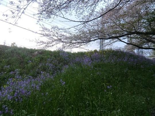 紫大根が咲いていました