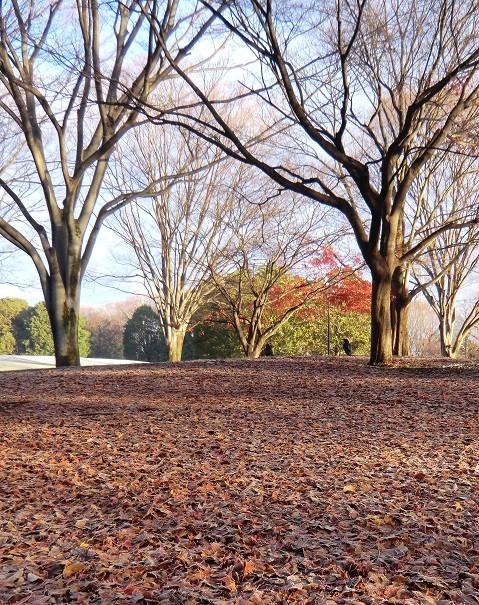 11月22日(2013) 落ち葉の公園と2羽のカラス:神代植物公園・自由広場